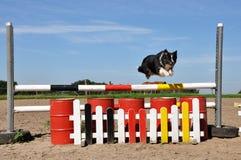 Perro de pastor australiano que vuela Fotografía de archivo libre de regalías