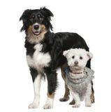 Perro de pastor australiano y perro maltés fotos de archivo