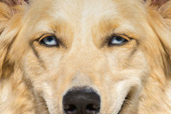 Perro de pastor blanco con los ojos azules Un cierre encima del retrato Imagenes de archivo