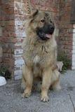 Perro de pastor caucásico foto de archivo