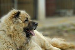 Perro de pastor caucásico Imagen de archivo