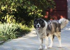 Perro de pastor caucásico adulto en la yarda Imagen de archivo