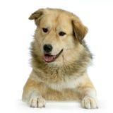 Perro de pastor de Anatolia Foto de archivo libre de regalías