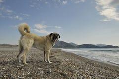 Perro de pastor de Anatolia imagen de archivo