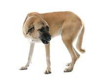 Perro de pastor de Anatolia agresivo fotografía de archivo libre de regalías