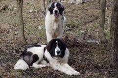 Perro de pastor de Bucovina Foto de archivo libre de regalías