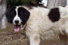 Perro de pastor de Bucovina Fotos de archivo