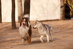 Perro de pastor del perro esquimal siberiano y de Escocia imágenes de archivo libres de regalías