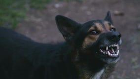Perro de pastor enfurecido del descortezamiento al aire libre almacen de metraje de vídeo