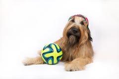 Perro de pastor francés grande con una bola Fotos de archivo