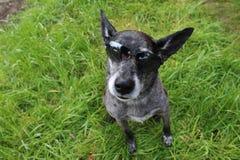 Perro de pastor gris Foto de archivo