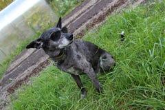 Perro de pastor gris Foto de archivo libre de regalías