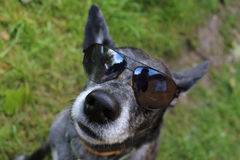 Perro de pastor gris Imagen de archivo libre de regalías
