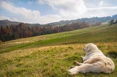 Perro de pastor hermoso Foto de archivo