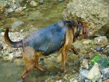 Perro de pastor mezclado de la raza que camina en una cala y una consumición metrajes