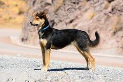 Perro de pastor peruano Imágenes de archivo libres de regalías