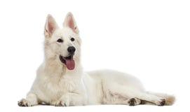Perro de pastor suizo, 5 años, mintiendo, jadeando y mirando para arriba Imágenes de archivo libres de regalías