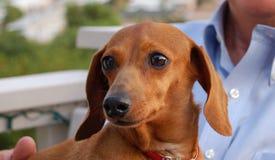 Perro de patas muy cortas Fotografía de archivo libre de regalías