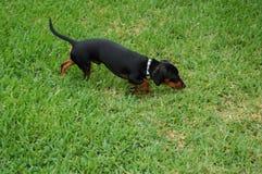Perro de patas muy cortas afuera Fotografía de archivo