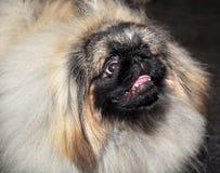 Perro de Pekingese foto de archivo libre de regalías