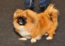 Perro de Pekingese imagen de archivo