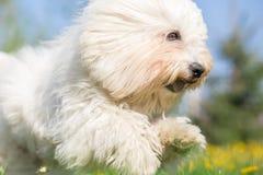 Perro de pelo largo blanco en funcionamiento fotos de archivo