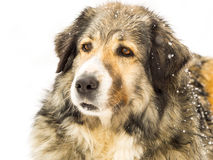 Perro de pelo largo en nieve Fotografía de archivo