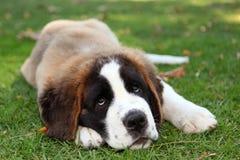Perro de perrito al aire libre en la hierba Imagen de archivo libre de regalías