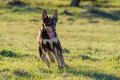 Perro de perrito australiano del Kelpie que corre a toda velocidad imagenes de archivo