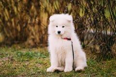 Perro de perrito blanco del samoyedo al aire libre en parque Fotos de archivo libres de regalías
