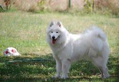 Perro de perrito blanco lindo del samoyedo en el jardín Imágenes de archivo libres de regalías