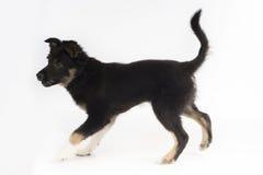 Perro de perrito, border collie, fondo blanco del estudio Fotos de archivo libres de regalías