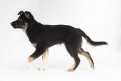Perro de perrito, border collie, fondo del estudio Fotografía de archivo
