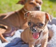 Perro de perrito cansado y walm Fotografía de archivo libre de regalías