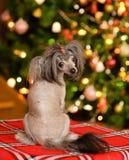 Perro de perrito con cresta chino que mira detrás Imagenes de archivo