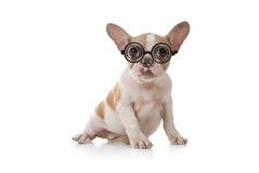 Perro de perrito con el tiro lindo del estudio de la expresión Imagen de archivo libre de regalías