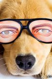 Perro de perrito con los vidrios divertidos Fotografía de archivo