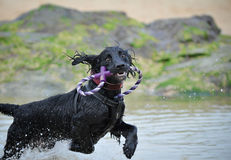 Perro de perrito corriente Fotos de archivo
