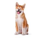 Perro de perrito criado en línea pura de Akita Inu aislado en blanco Fotos de archivo