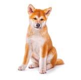 Perro de perrito de Akita Inu aislado en blanco Fotos de archivo