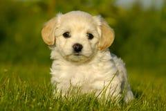 Perro de perrito de Bichon Havanais Fotografía de archivo
