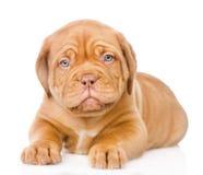 Perro de perrito de Burdeos que miente en vista delantera Aislado en el fondo blanco Imagenes de archivo
