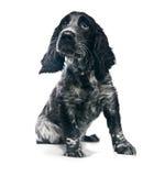 Perro de perrito de cocker spaniel Imagen de archivo