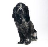 Perro de perrito de cocker spaniel Fotografía de archivo libre de regalías
