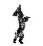 Perro de perrito de cocker spaniel Fotos de archivo