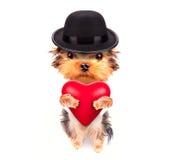 Perro de perrito de la tarjeta del día de San Valentín del amante con un corazón rojo Imagen de archivo