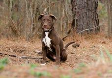 Perro de perrito de Pitbull Terrier del americano del chocolate imágenes de archivo libres de regalías