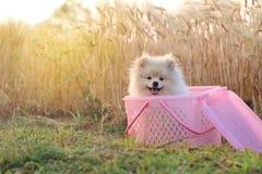 Perro de perrito de Pomeranian Fotografía de archivo