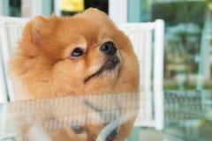 Perro de perrito de Pomeranian que prepara con el pelo corto, animal doméstico lindo imagen de archivo libre de regalías