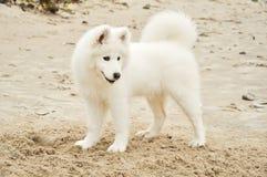Perro de perrito de Samojed Fotografía de archivo